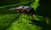 Blue Tailed Blowfly