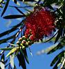 The Opening of a Bottlebrush