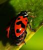Ladybird about to fly