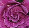 Sillicuim Rose