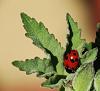 Sheltering Ladybird