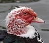 muscovy beauty ?????