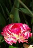 Redo of a flower from the 2008 Toowoomba Carnival of Flowers