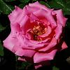 Rich Pink Rose