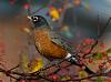 Fall Robin