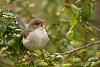 Superb Fairy-wren (Malurus cyaneus) - Female Singing