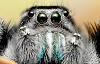 yeatzee's macro's: New flash diffuser - Jumping spider