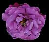 Purple Rose with Bee