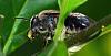 Black Native Bee.............