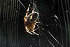 last spider