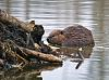 Castor Canadensis in Action - 12 shots
