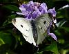Cabbage Moth on Purple Flowers