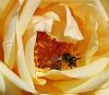 Bee leaving a Peach Rose
