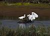 Egret Fishing..