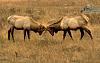 Juvenile Elk Sparring