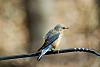 Photo of the Week - First bluebird of the year...