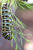 Absolem the Caterpillar