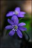 Photo of the Week - Blue anemone I