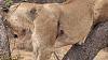 Quarrel within a Lion Pride