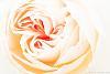 High Keyed Rose