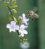 Hovering Honey Bee