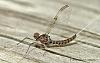 Just a mayfly