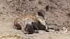 Hyena's Lbour Ordeal