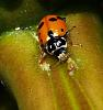 Foraging Ladybird