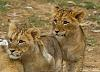 Baby lion cubs first outting