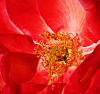 Stamen of the Rose