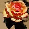 Tis but a Rose