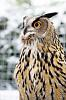 Ollie the Eagle Owl (k5 and 50mm f1.7)