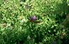 Papillon (Elite Chrome)  ;)