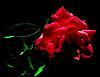 A Halo-ed Rose
