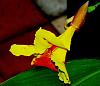 Red & Yellow Canna