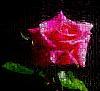 Rose through a Bathroom Window