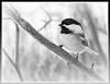Chickadee in Monochrome