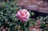 Pink Rose in Kodachrome 64