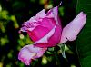 An Unusual Pink Rose