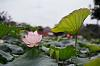 Lotus in my country
