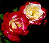 Dual Multi-Tone Roses