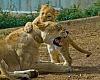 Lions cubs----