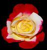 Multi Tone Rose