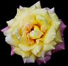Pale Mauve & Yellow Rose
