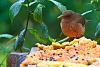 Yigüirro, Costa Rica's national bird