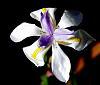 Partially shaded Iris