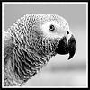 Portrait of a Parrot