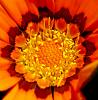 Centre of a Gazania