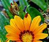 Gazania with Native Bee