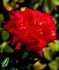 Striking Red Rose